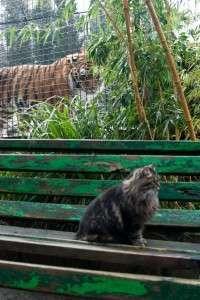 Амурский тигр, Ялта