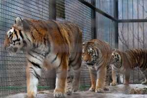 Тигры в Ялте