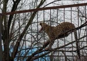 Леопард зевает