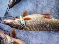 Mr. Fish model MR-054 улов